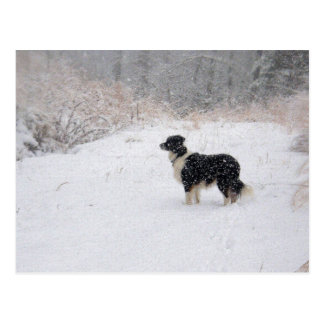 Snowy Border Collie Postcard