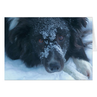 Snowy Faced Border Collie Cute Dog Card