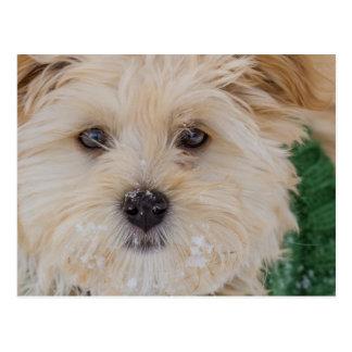 Snowy Havanese Puppy Postcard