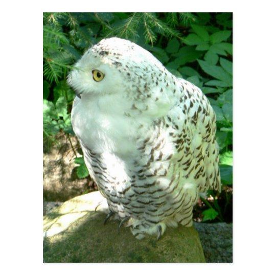 Snowy Owl Bird Postcard