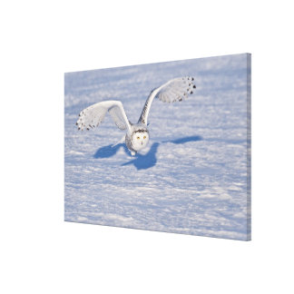 Snowy Owl in flight. Canvas Print