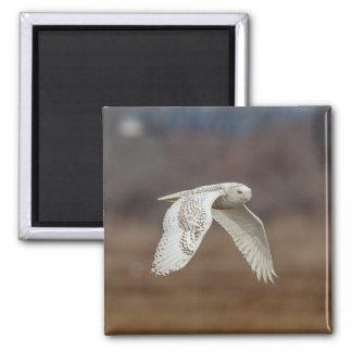 Snowy owl in flight magnet