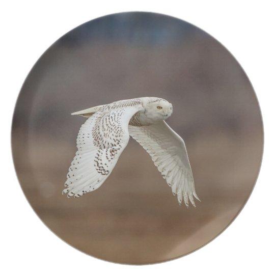 Snowy owl in flight plate