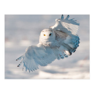Snowy Owl landing on snow Postcard