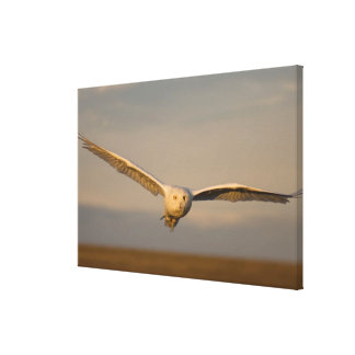 snowy owl, Nycttea scandiaca, in flight over the Canvas Prints