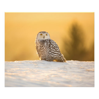 Snowy Owl Photo Print