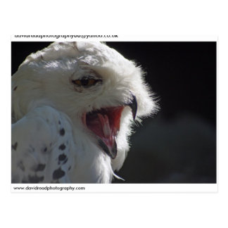 Snowy owl.. postcard