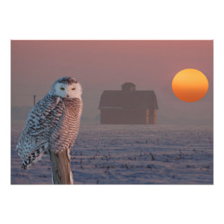 Snowy Owl scene Photo