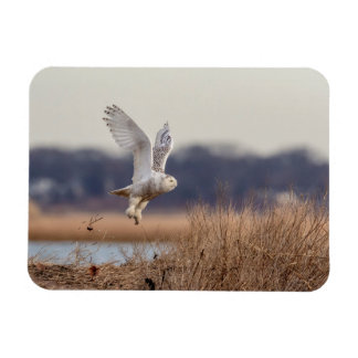 Snowy owl taking off magnet