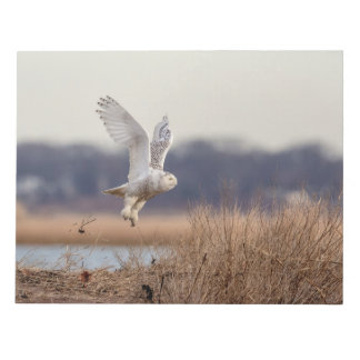 Snowy owl taking off notepad