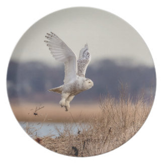 Snowy owl taking off plate