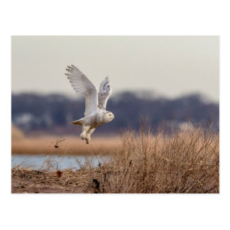 Snowy owl taking off postcard