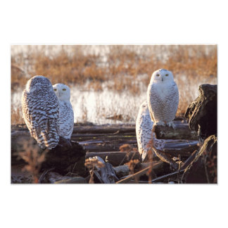 Snowy Owls Photo