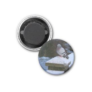 Snowy Pigeon Magnet