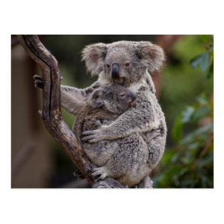 Snuggling Koala Bears Postcard