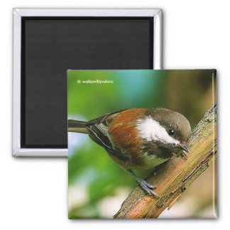 So Cute, So Curious: A Chestnut-Backed Chickadee Magnet