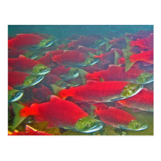Sockeye Salmon Spawning Run Postcard