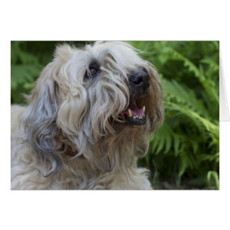 Soft Coated Wheaten Terrier Blank Note Card Small