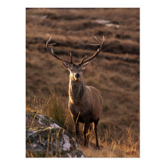 Solitary Red Stag  Postcard
