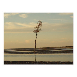Solo Tree on Cape Cod Beach Picture Poster