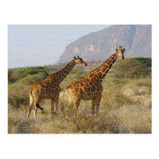 Somali Giraffe, Reticulated Giraffe, Giraffa Postcard