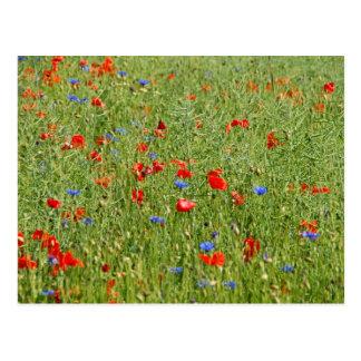 Sommerfeld mit roten und blauen Blumen Postcard