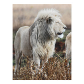 South Africa Lion as king Flyer