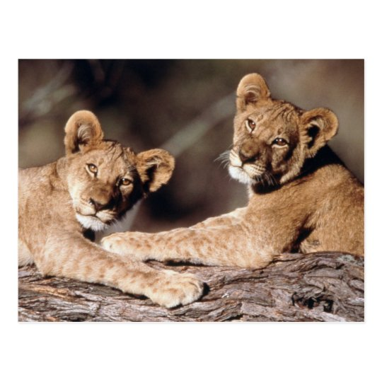 South Africa, lion cubs Postcard