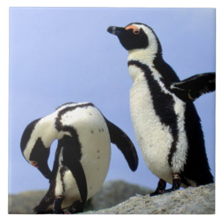 South Africa, Simons Town. Jackass Penguins Tile