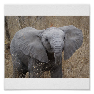 South African Baby Elephant Poster