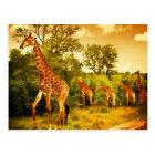 South African giraffes Postcard