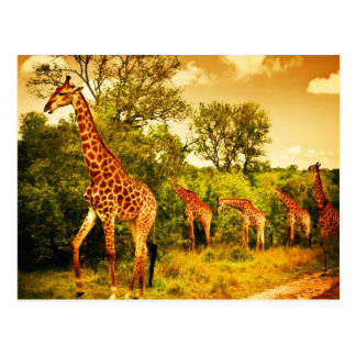 South African giraffes Postcard