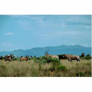South African Oryx (Gemsbok) Photo Cut Outs