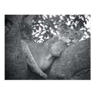 South African resting lion Postcard