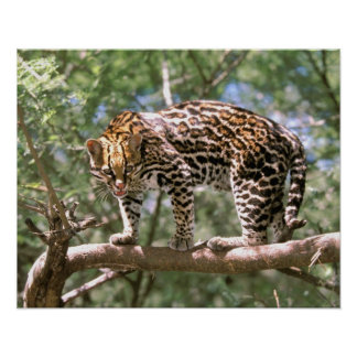 South America, Ecuador, Amazon. Ocelot Poster