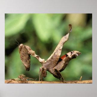 South America, Ecuador, Amazon. Praying Mantis Poster