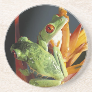 South America. Red-eyed tree frog Agalycmis Coasters