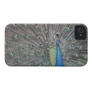 South America, Venezuela,  Peacock displaying Case-Mate iPhone 4 Case