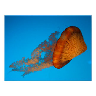 South American Sea Nettle Poster Perfect Poster