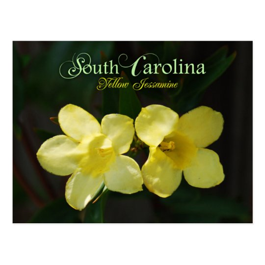 South Carolina State Flower Yellow Jessamine Postcard Zazzle Ca