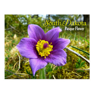 South Dakota State Flower: Pasque Flower Postcard