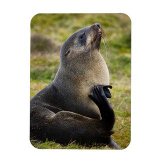 South Georgia. Antarctic fur seal 1 Rectangular Photo Magnet