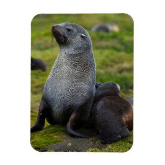 South Georgia. Antarctic fur seal 4 Rectangular Photo Magnet
