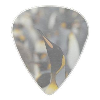 South Georgia Island, Salisbury Plain. Second Acetal Guitar Pick