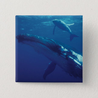 South Pacific, Tonga. humpback whale and calf 2 Inch Square Button