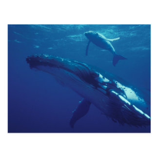 South Pacific, Tonga. humpback whale and calf Postcard