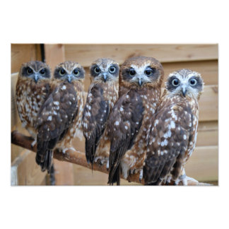 Southern Boobook Cross Eyed Owls Photographic Print