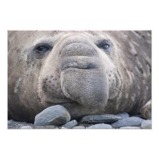 Southern Elephant Seal Mirounga leonina) 2 Photo Art