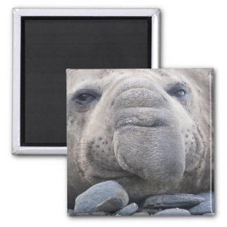 Southern Elephant Seal Mirounga leonina) 2 Square Magnet