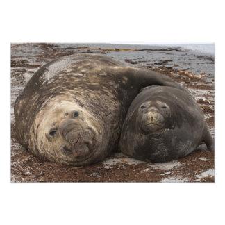 Southern Elephant Seals Mirounga leonina) Photo Print